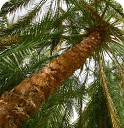 Palm Trees in Farafra
