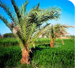 Palm Trees in Kharga Oasis